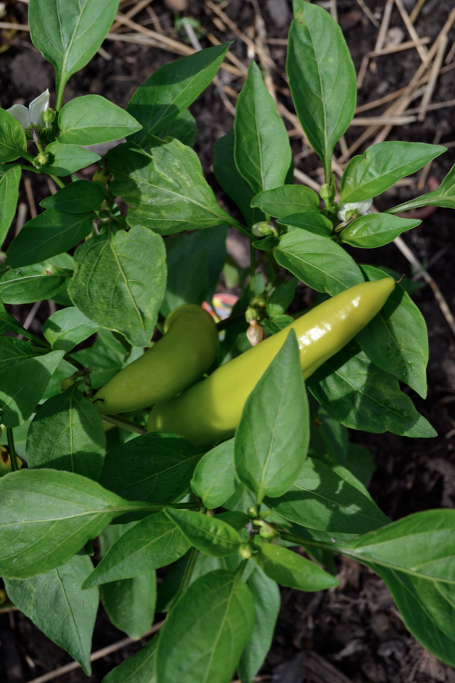 After a slow start likely caused by cooler, wet weather, our peppers are going nutty.
