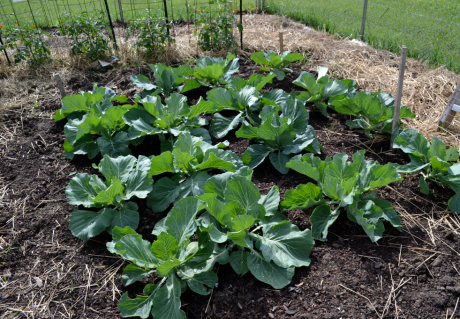 We've never grown cabbage in the community garden before, but they are really looking nice, despite our ignorance.